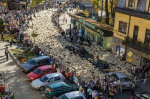 Jesienny redyk w Szczawnicy. Stado owiec przeszło przez miasto [ZDJĘCIA]