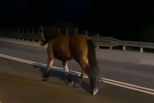 Kierowcy byli w szoku. Koń biegał po drodze krajowej [FILM]