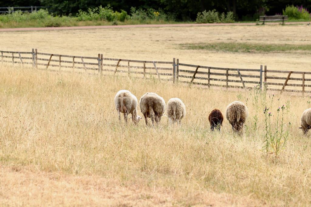 owce na wypalonej słońcem trawie. Fot. Pixabay