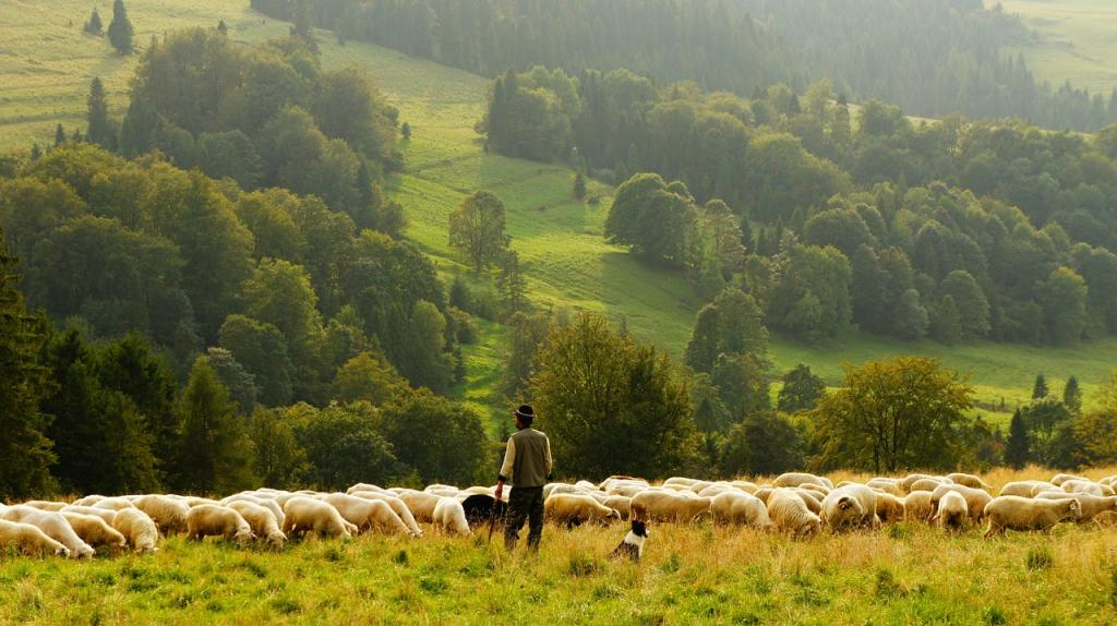 Wypas owiec na hali