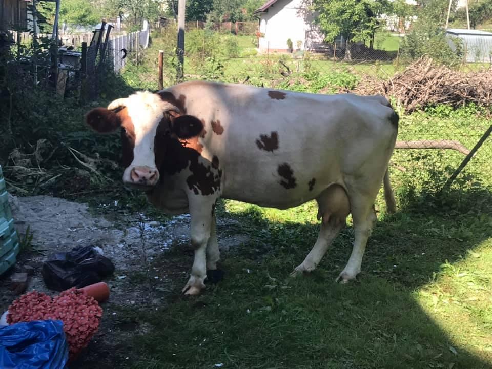 Krowy pod Urzędem Gminy w Łabowej, fot. UG Łabowa