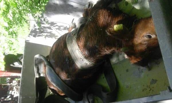 Krowa w tarapatach też człowiek! Strażacy ratowali zwierzaka
