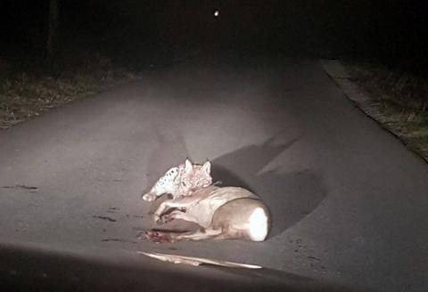 Ryś na oczach ludzi upolował sarnę i pałaszował ją przed maską auta