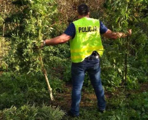 Posadził marihuanę w lesie w Tęgoborzy. Narkotyki kupił w Nowym Sączu