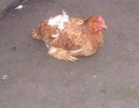 Trzy kury skradli zuchwali złodzieje pod Limanową.