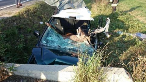 Przerażający widok: jeleń po zderzeniu z samochodem! A rykowisko trwa