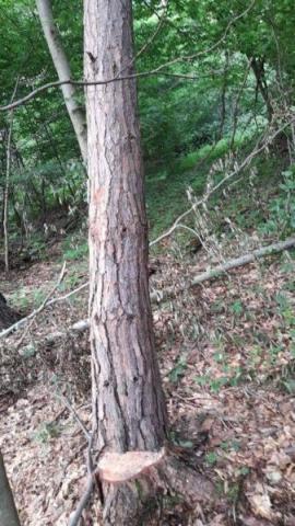 Uważajcie na siebie w lesie. To drzewo stwarza poważne zagrożenie