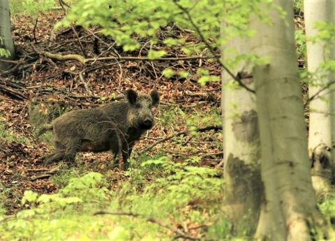 Rozjuszony dzik kontra stado wilków, samobójstwo i atak nożownika w jeden dzień
