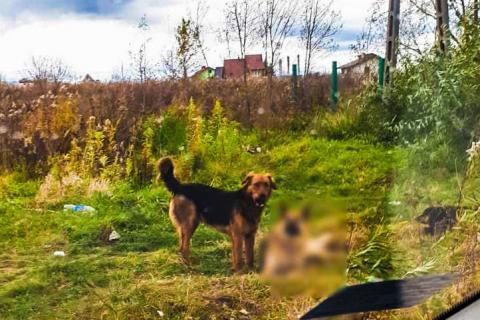 Groźny pies błąka się po ulicach Nowego Sącza. Omal nie pogryzł dzieci