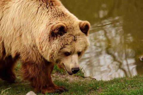 Niedźwiedź, Fot. ilustracyjne pixaby
