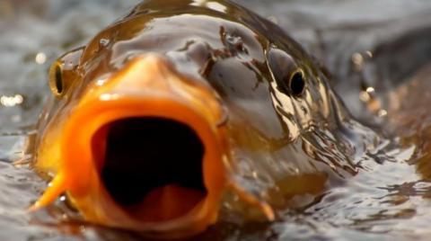 Karp. Ryba waleczna, inteligentna i godna królewskich podniebień