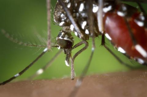 Można umrzeć od ich ukąszenia. Demoniczne komary w Nowym Sączu? [ZDJĘCIA]