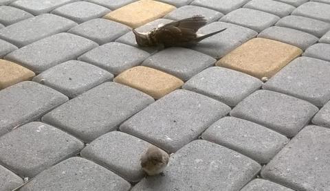 martwe ptaki w Nowym Sączu