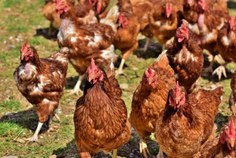 Sądecczyzna zagrożona ptasią grypą. Czy jest się czego bać?