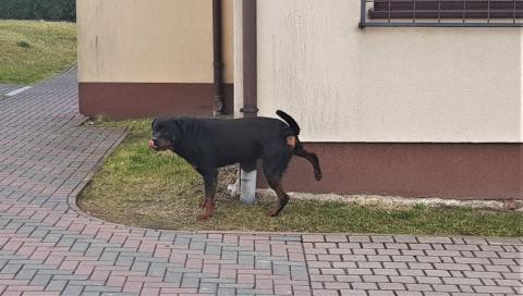 Pies w kłopotach. Czyj jest ten rottweiler?