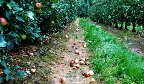 90 procent owoców już przepadło! Makabra w sadach w Olszanie