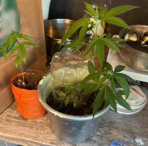 W słoiku z przetworów trzymała marihuanę, a w doniczkach uprawiała konopie