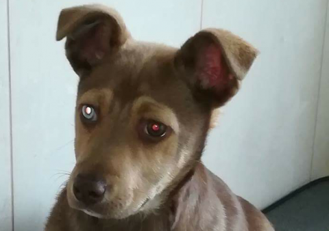 psia piękność do adopcji