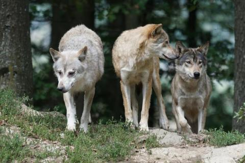 Horror pod Limanową. Watahy wilków podchodzą pod domy