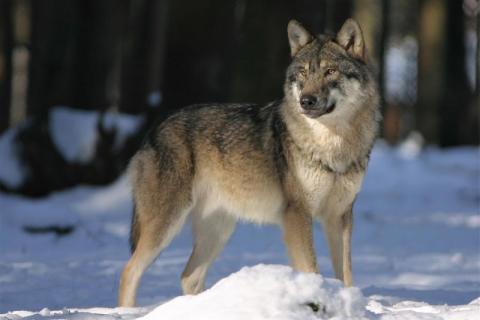 W Korzennej grasują wilki! Jak przeżyć atak tego drapieżnika?