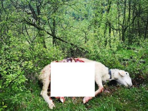 Wilki zaatakowały w biały dzień! Drapieżniki kompletnie lekceważą ludzi