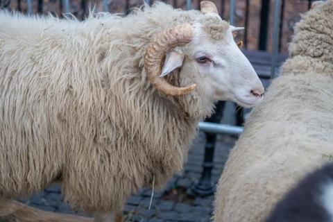 Zwierzęta na sądeckim Rynku