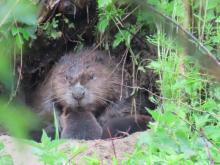 Rodzina bobrów zamieszkała w Muszynce. Udało się ją sfotografować