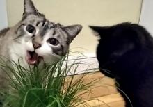 Zamiast mleka wolą trawę. Te sądeckie koty mogą podbić internet