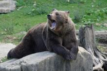Kiedy niedźwiedzie zapadają w sen zimowy? Tego mogliście nie wiedzieć [QUIZ]