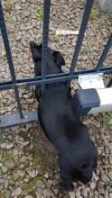 Pies utknął w bramie w Nawojowej