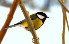 Cudem zliczyli latające ptaki. Najczęściej w karmnikach zatrzymuje się sikorka