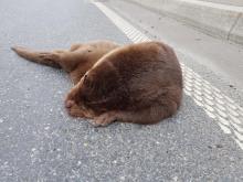 Makabra: śmiercią wydra zapłaciła za nasze cywilizacyjne wygody [WIDEO]