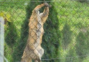 Ktoś przywiązał lisa do ogrodzenia, czy sam się zaplątał? Policja wyjaśnia