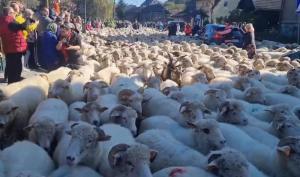 Jesienny redyk w Szczawnicy. Tysiące owiec przeszło ulicami miasta